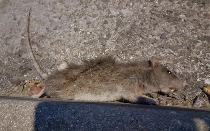 Rata muerta en los aledaños del Ceipso del barrio de La Luna (Fuente: Grupo Municipal Partido Popular).