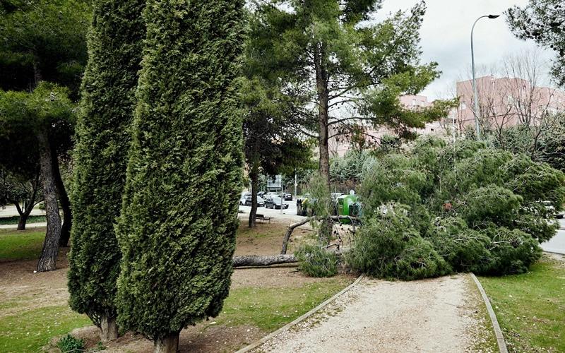 Árbol caído por el viento en Rivas