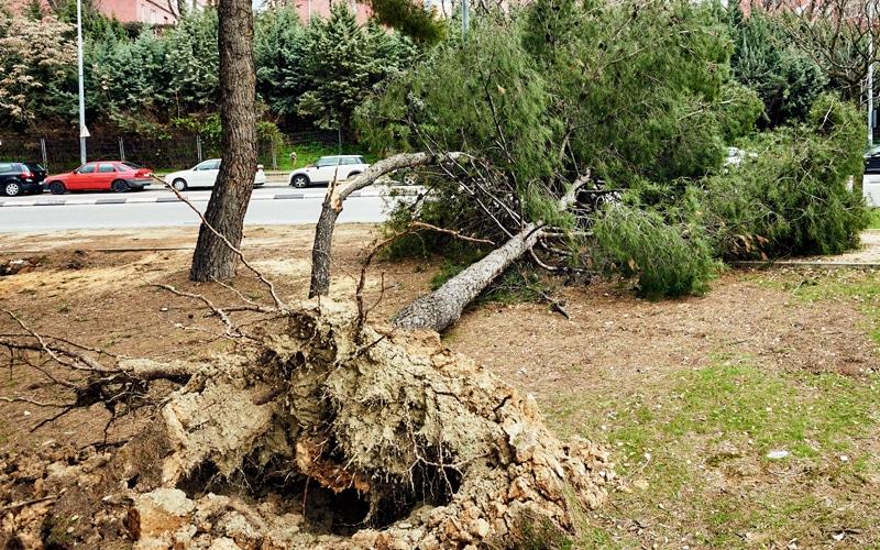 Árbol caído en Rivas