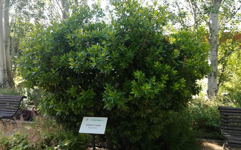 madroño arboreto rivas vaciamadrid botanico