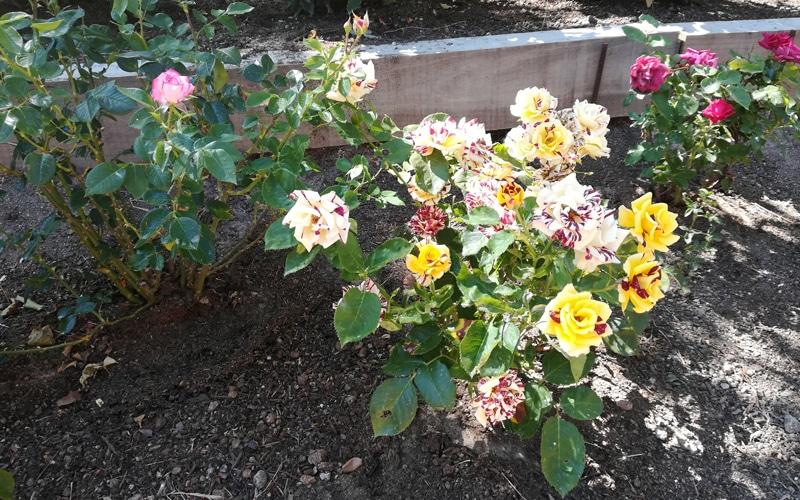 rosas arboretum arboreto botanico rivas vaciamadrid
