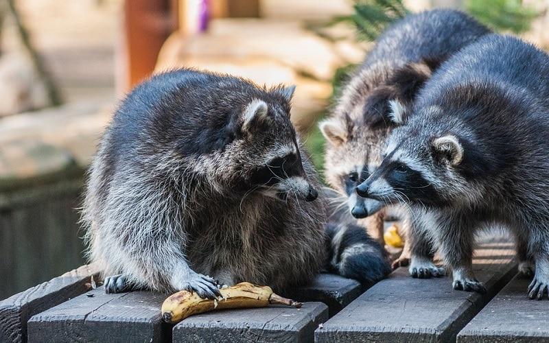 Los mapaches se multiplican en el Sureste