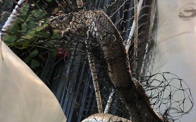 Serpiente atrapada en una alambrada en la calle de Palencia