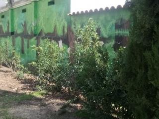 Tala de cipreses junto al cementerio de Rivas