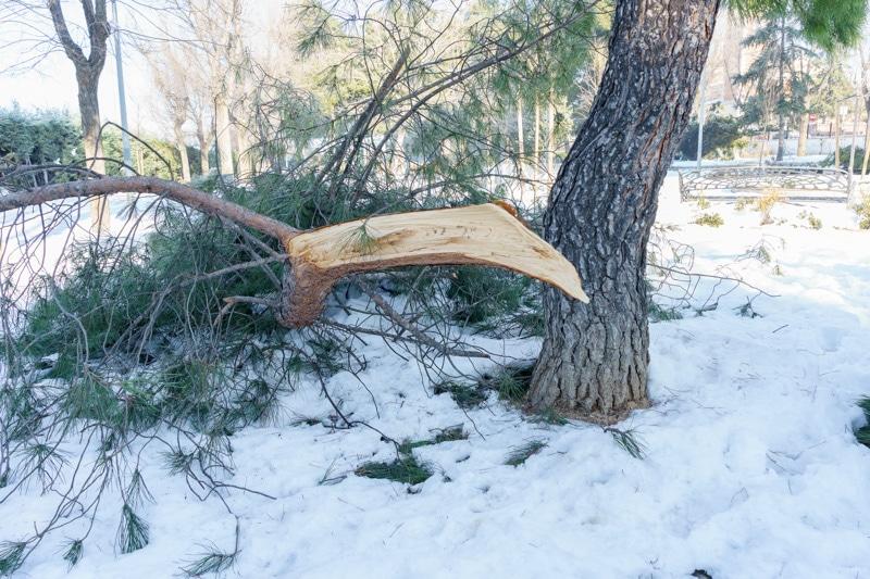 Árboles derribados por el temporal de nieve 'Filomena' en Rivas Vaciamadrid