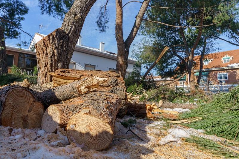 Un árbol derribado por la nevada 'Filomena' en la plaza de la Libertad, en Rivas Vaciamadrid pueblo