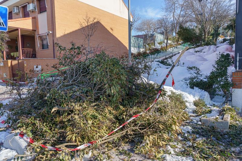 Un árbol derribado por la nevada 'Filomena' en Rivas Vaciamadrid