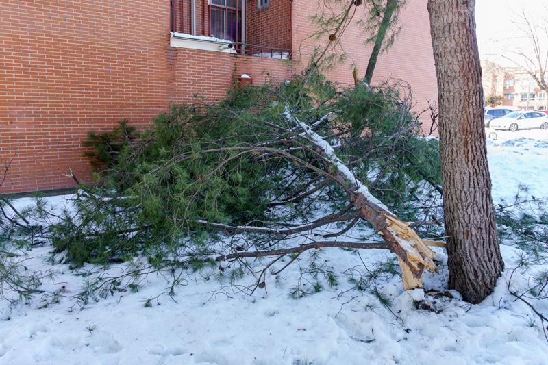 Árboles derribados por el temporal de nieve 'Filomena' en Rivas Vaciamadrid (©Fernando Galán)