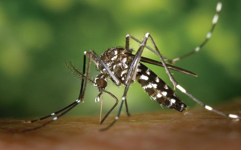 Mosquito tigre, identificado por las rayas blancas que le recorren